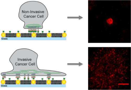 Cancerous traffic jams: Biomechanical factor in malignancies identified