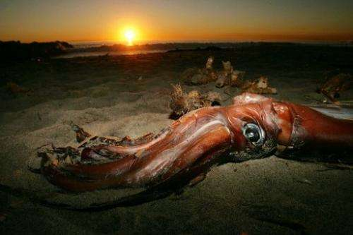 Carcass of a giant squid is seen in Newport Beach, California, on January 19, 2005