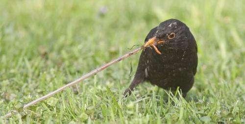 Clamorous city blackbirds