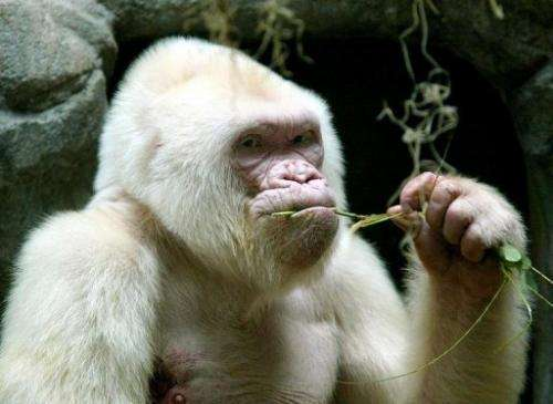 Copo de Nieve (Snowflake), an albino gorilla at the Barcelona zoo, on September 14, 2003