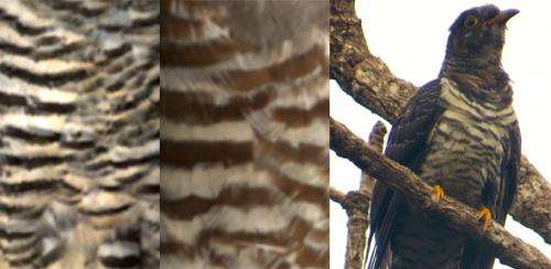 Cuckoos impersonate hawks by matching their 'outfits'