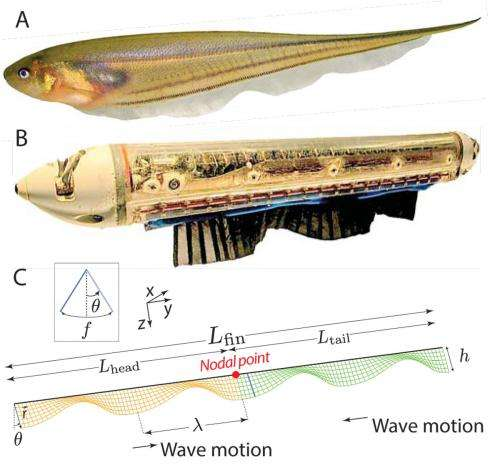 Scientists study 'fishy' behavior to solve an animal locomotion mystery (w/ Video)