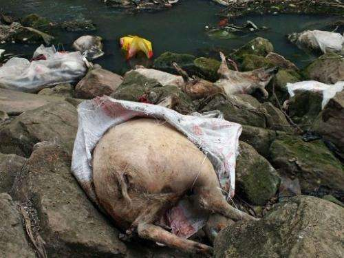 Dead pigs lie on rocks next to a tributary of the Yangtze River on March 12, 2013