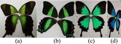 Deciphering butterflies' designer colors: Findings could inspire new hue-changing materials