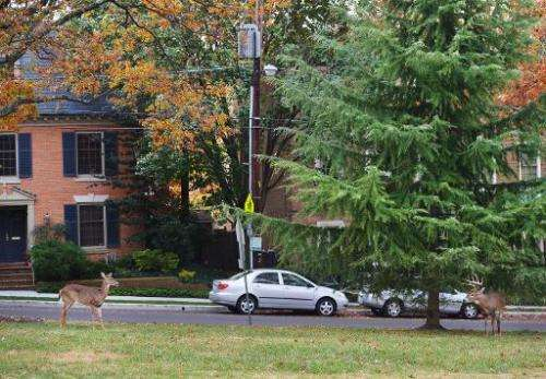 Deer are seen on the lawn of Annunciation Catholic Church in Washington, DC, on November 5, 2013