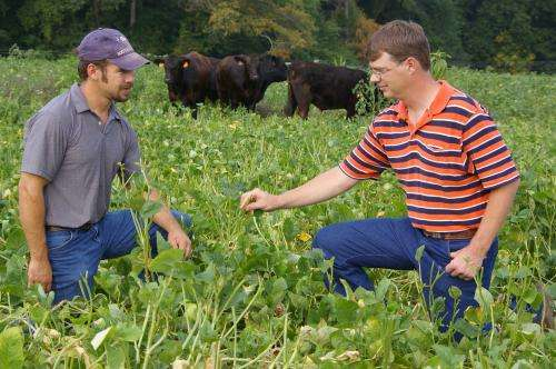 Different forage affects beef cattle weight, taste