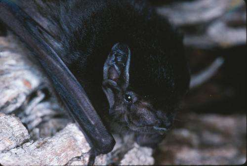 Do bats eat mozzies or moths? The clue is in the poo