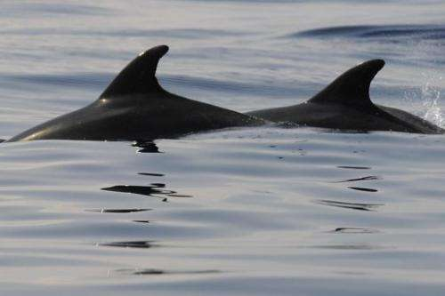 Dolphin hunts are traditional in areas of the Solomons, where their teeth have long been used as a form of currency