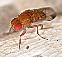 Drosophila research points to decreased insecticide use