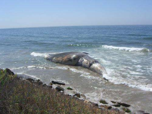Earwax used to develop new method of determining lifetime contaminant exposure in whales