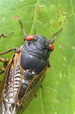 Eastern US about to be overrun by cicadas