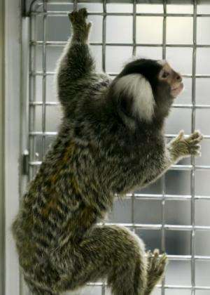 Eating solid food early sets marmosets on path to obesity