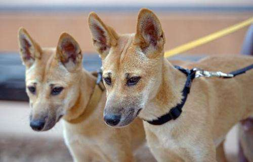 Eighteen-month-old dingo pups Marle and Digger are shown at the Alice Springs Desert Park in Australia's Northern Territory stat