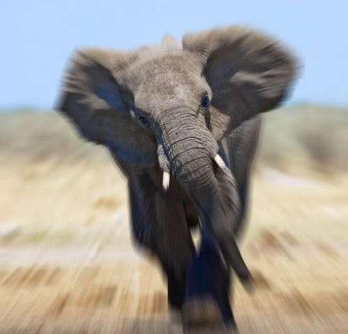 Elephant poaching remains alarmingly  high despite modest decline
