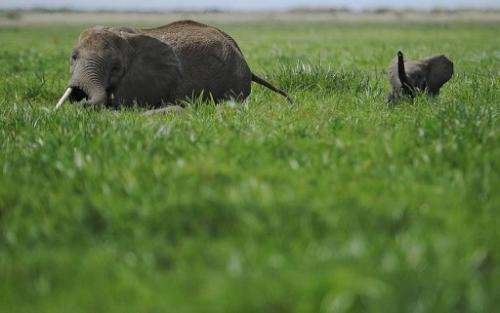 Elephants at a game reserve in Kenya on December 30, 2012