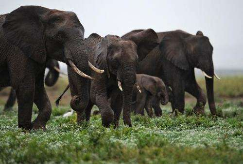 Elephants walk in the Amboseli game reserve, approximately 250 kilometres south of Kenyan capital Nairobi on December 30, 2012