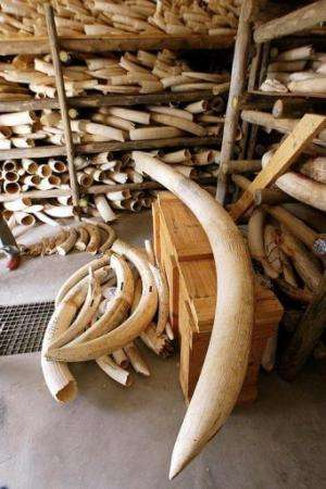 Elephant tusk pieces in a secret building in the world's largest wildlife park in South Africa on October 30, 2002