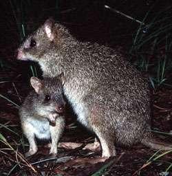 Endangered kangaroo prefers 'the girl next door'