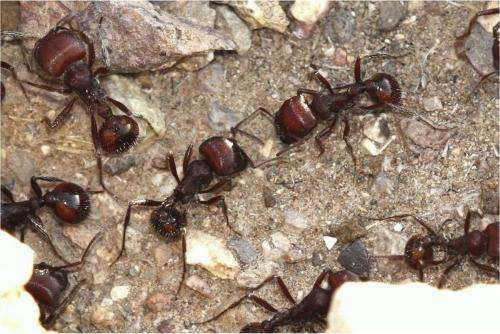 Evolution shapes new rules for ant behavior