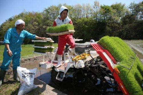 Farmers plant rice near Tamura city, 15km west the Fukushima power plant, on May 18, 2013