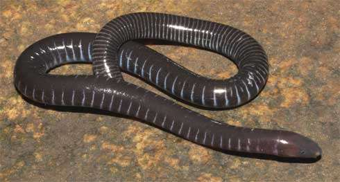 Fatal fungus found in third major amphibian group, caecilians