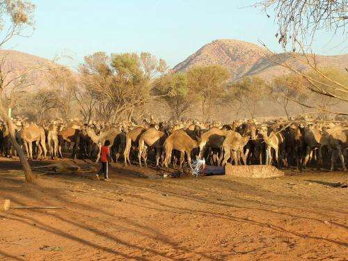 Feral camel management across remote Australia – a successful outcome