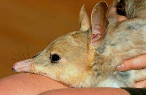File photo of a nocturnal male bilby at Sydney Wildlife World