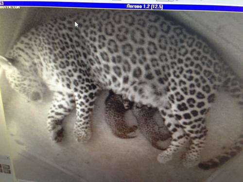 First Persian leopard cubs born in Russia for 50 years