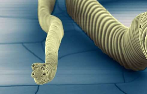 First tapeworm genomes give insights into parasite evolution