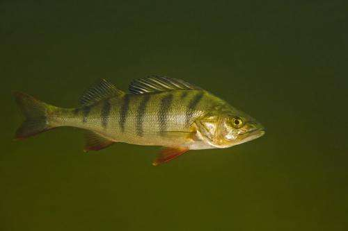 Fish become bolder and more gluttonous from drug residue
