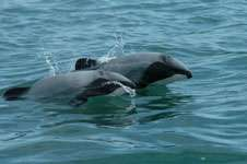 Fishing threatens rare dolphins in tourist hotspot: Otago study