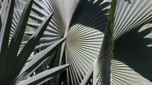 Framework for palm biogeography: Researchers establish a hypothesis for the evolution of palms in time and space