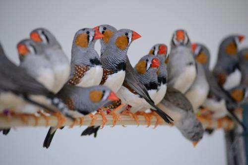 Fraternal singing in zebra finches
