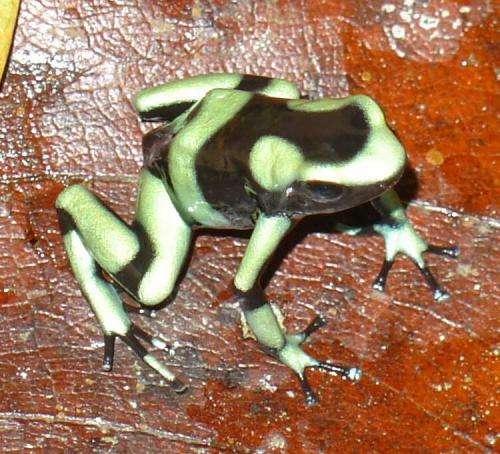 Frog-killing fungus paralyzes amphibian immune response
