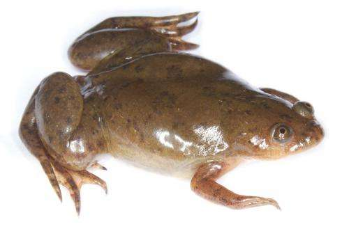 Frogs in California harbor deadly amphibian pathogen, Stanford researchers find
