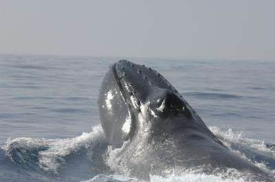 Genetic study pursues elusive goal: How many humpbacks existed before whaling?