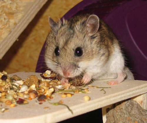 Genome researchers at Bielefeld University decode the hamster genome