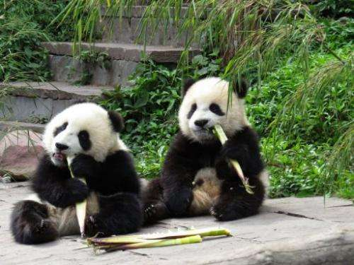 Giant pandas eat bamboo at the Bifengxia Base of China Conservation and Research Centre in Ya'an, on April 20, 2013