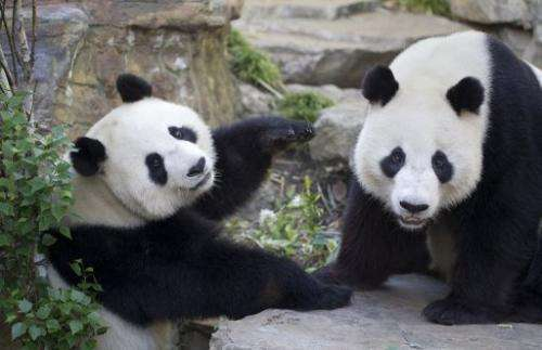 Giant pandas, Wang Wang (R) and Funi at Adelaide Zoo