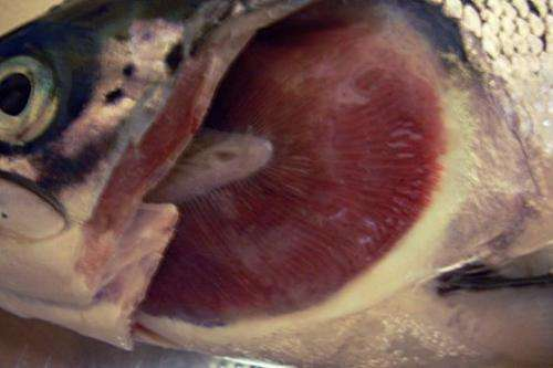 Gill diseases in seawater-farmed salmon have multiple causes and lead to substantial losses