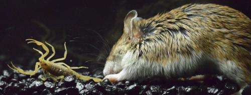 Grasshopper mice are numb to the pain of the bark scorpion sting