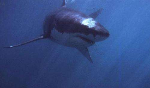Great White sharks are common sightings near the South African coast
