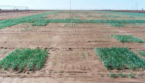 Greenbug resistance gene found in wheat