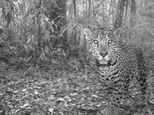 Guatemala's jaguars: Capturing phantoms in photos