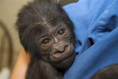 Healthy 5-pound gorilla born at central Ohio zoo