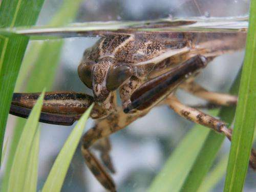 Hide, ambush, kill, eat: The giant water bug Lethocerus patruelis kills a fish