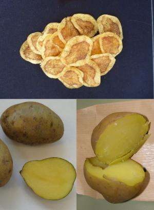 High-nutrition and disease-resistant purple and yellow-fleshed potato clones obtained