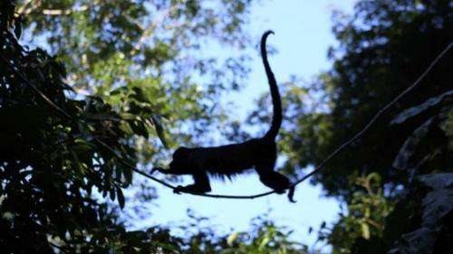 High stress levels found in monkeys forced to spend more time foraging