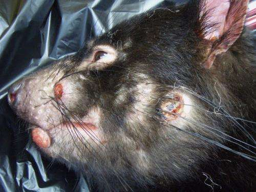 Hope for threatened Tasmanian devils