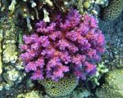 How the purple and pink sunscreens of reef corals work